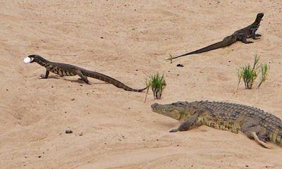 Video: Cả gan xâm phạm lãnh thổ cá sấu trộm trứng, kỳ đà phải trả giá đắt