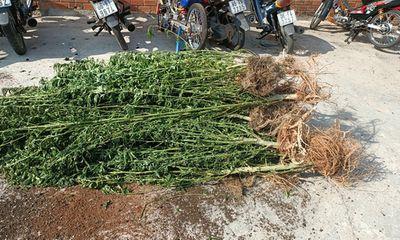 Căn vườn bí ấn trồng gần 500 cây cần sa của người đàn ông Canada ở nhà vợ tại Phan Thiết