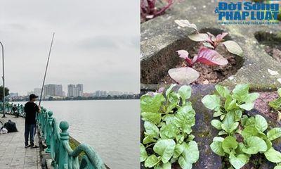 Vườn rau xanh mướt trong hốc đá hồ Tây khiến khách nước ngoài tròn mắt