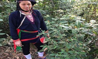 Loại dây 'Vương Tôn trong truyền thuyết' chế biến thành cao cứu người bị xương khớp