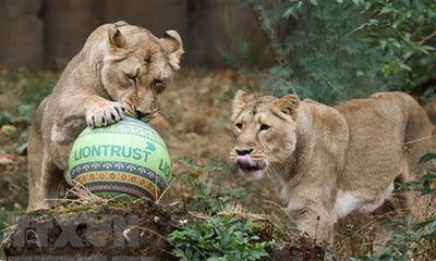 Lần đầu tại Ấn Độ, 8 con sư tử dương tính với SARS-CoV-2