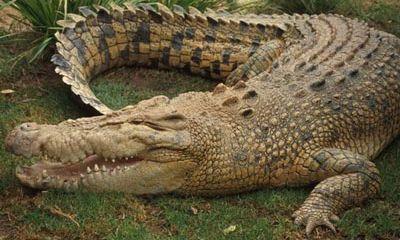 Kỳ lạ cá sấu bò vào gầm thang cuốn sân bay Mỹ