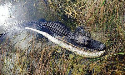 Tử chiến kinh hoàng giữa cá sấu Mỹ và trăn Myanmar