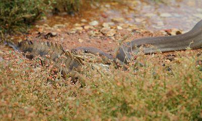 Cận cảnh trăn nuốt chửng cá sấu