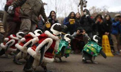 """Xem các """"ông già Noel chim cánh cụt"""" đáng yêu diễu hành"""