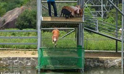 Hài hước lợn biết... nhảy cầu, bơi lội