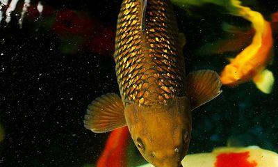 Cá chép, địa lan trăm triệu nóng trước Tết Giáp Ngọ