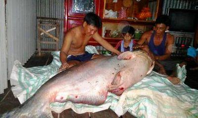 """Cá tra dầu """"khủng"""" giá hàng chục triệu sa lưới ngư dân Đồng Tháp"""
