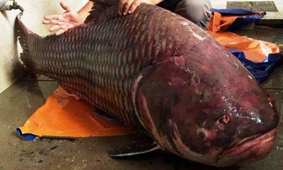 """Liên tiếp bắt được cá hô """"khủng"""" nặng hàng trăm kg"""