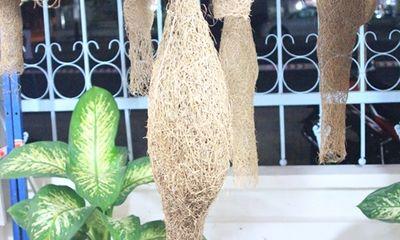 Tổ chim dồng dộc dài 1,4m xuất hiện tại Bạc Liêu