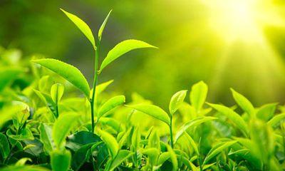 Làm đẹp hiệu quả với trà xanh