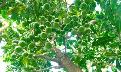 Vì sao cây mắc ca được gọi là cây tỷ đô ở Việt Nam?