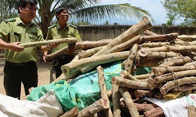 Thương lái Trung Quốc lại lùng mua gỗ trắc non, hãy cảnh giác!