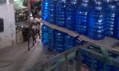 Kinh hoàng nơi sản xuất nước tinh khiết gần khu nuôi bò hôi thối