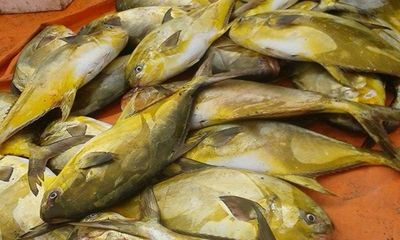 Đầu năm mới ngư dân trúng mẻ cá két, bán được 400 triệu đồng
