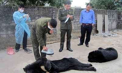 Chuyển gấu nuôi bị bỏ đói ở Quảng Ninh về Tam Đảo