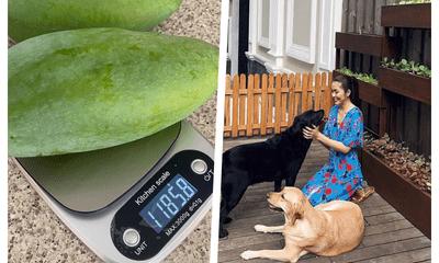 Tăng Thanh Hà khoe trái xoài nặng hơn 1kg trồng trong