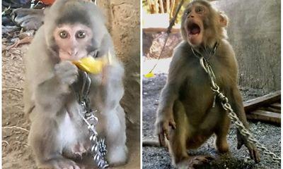 Người dân Hà Tĩnh bắt được cá thể khỉ vàng nằm trong sách đỏ thế giới