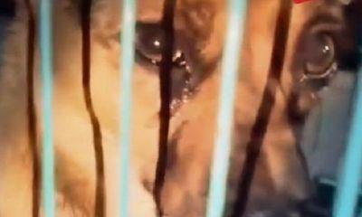 """Chú chó """"mừng rơi nước mắt"""" vì được giải cứu ngay khi sắp vào lò mổ"""