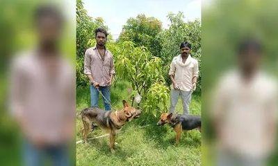 """Gia đình Ấn Độ gây """"choáng"""" khi thuê hẳn 4 vệ sĩ, 6 con chó để bảo vệ 7 quả xoài"""