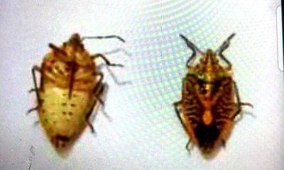 Tin tức đời sống ngày 13/8: Người đàn ông suy đa tạng vì ăn 2 bát bọ xít rang