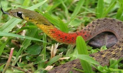 Bé trai hơn 3 tuổi tử vong vị bị rắn học trò cắn