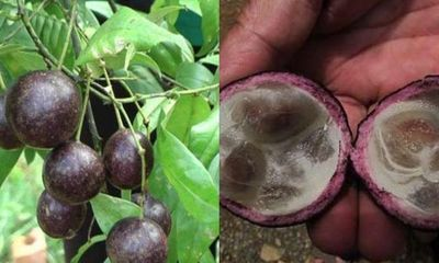 Vụ 17 học sinh ngộ độc, có 1 em tử vong ở Lào Cai: Cảnh báo mối nguy hiểm từ quả hồng châu