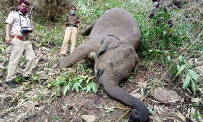 Ấn Độ: 18 con voi bị sét đánh chết cùng lúc trong rừng