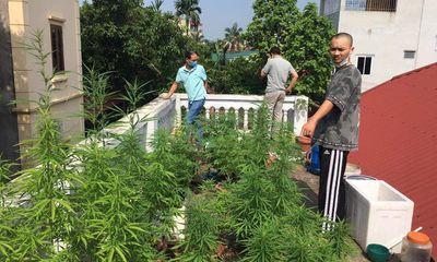 Vụ vườn cần sa trên nóc một ngôi nhà ở Hà Nội: