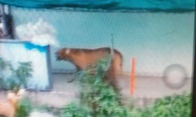 Chó Pitbull 60 kg cắn người đàn ông tử vong trong quán cà phê