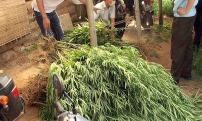 Vụ thuê 3.000 m2 trồng xen kẽ cây cần sa ở bãi giữa sông Hồng: Bất ngờ lời khai của người đàn ông ngoại quốc