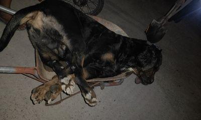 Tin trong nước - Kinh hãi cảnh chóPitbull nặng gần 60kg bị rắn hổ mang cắn chết tại chỗ