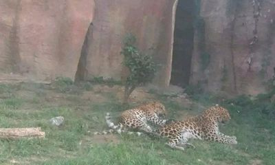 Trung Quốc: Sở thú để xổng 3 con báo hoa mai giữa mùa du lịch cao điểm
