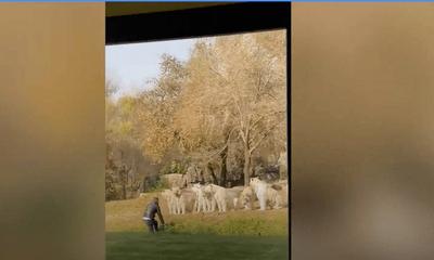 Video: Bất ngờ cái kết của du khách liều lĩnh khiêu khích hổ