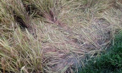 Nghệ An: Đi gặt lúa về, một phụ nữ bị sét đánh tử vong