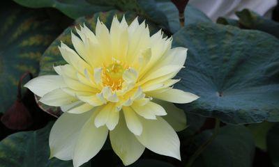 Ý nghĩa của Hoa sen vàng trong phong thuỷ