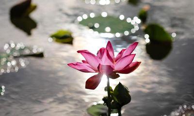 Ý nghĩa của hoa Sen và biểu tượng Quốc hoa của Việt Nam
