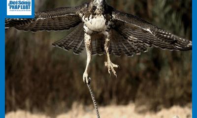 Video: Cố gắng gồng lên cắn trả diều hâu, rắn bị bị mổ đến mù mắt