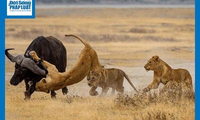 Video:Bị 3 con sư tử tấn công, trâu rừng lì lợm chống trả và có màn thoát thân khó tin