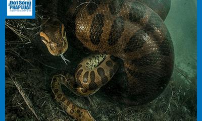 Video - Video: Trăn Anaconda tung đòn kết liễu chuột lang khổng lồ trong nháy mắt