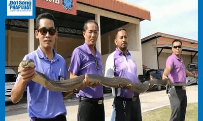 Video: Lính cứu hỏa dùng tay không bắt rắn hổ mang chúa khổng lồ