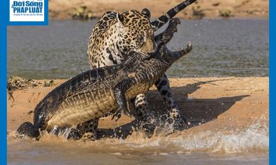 Video-Hot - Video: Báo đốm lao hết tốc lực cắn vào đầu cá sấu, kết liễu kẻ thù trong