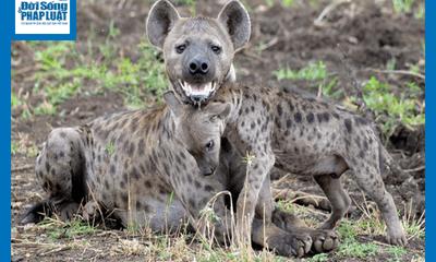 Video: Đơn độc mò vào địa bàn của chó hoang, linh cẩu lĩnh đòn đau nhớ đời