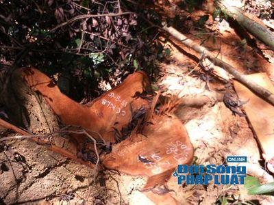 Vườn Quốc gia Vũ Quang: Phát hiện rừng gỗ De bị tàn phá