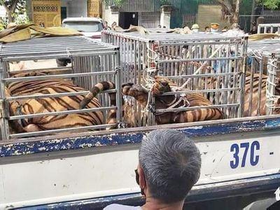 Công an phát hiện 17 con hổ, mỗi con nặng hơn 200kg trong nhà dân