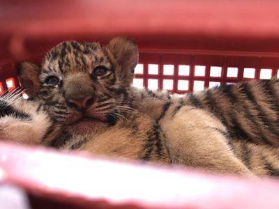 Tóm gọn 2 đối tượng đi xe hơi chở 7 hổ con còn sống, lùi xe vào cảnh sát để chạy trốn