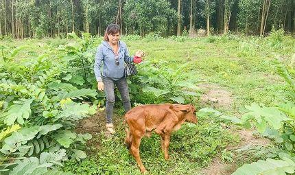 Tin trong nước - Ra chuồng thả bò mẹ, chủ nhà phát hiện chú bê con mới đẻ có 5 chân