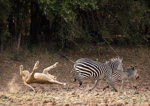 Video-Hot - Video: Ngựa vằn tung cước đá trúng mặt sư tử