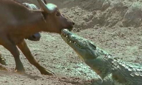 Video: Lao lên bờ cắn trâu rừng, cá sấu nhận cái kết đau đớn